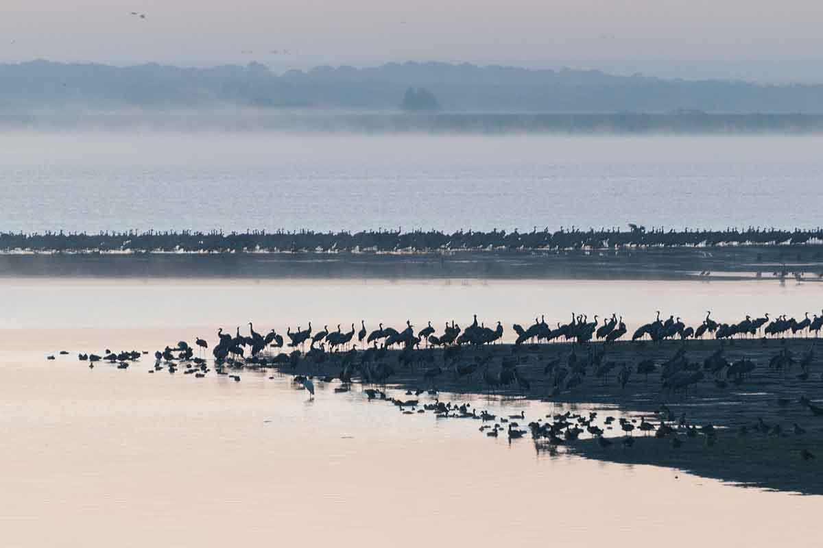 Migrations des Grues Cendrées